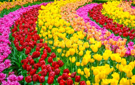 5544800_stock-photo-tulip-flowers-garden-in-spring-background-or-pattern